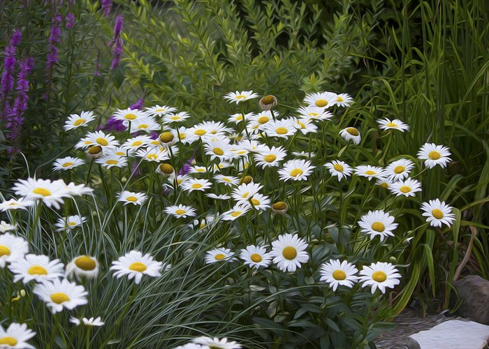 Flower Greeting Card featuring the photograph Daisy 1 by Michel DesRoches