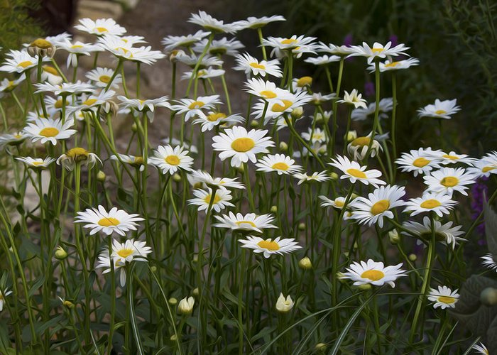 Flower Greeting Card featuring the photograph Daisy 2 by Michel DesRoches