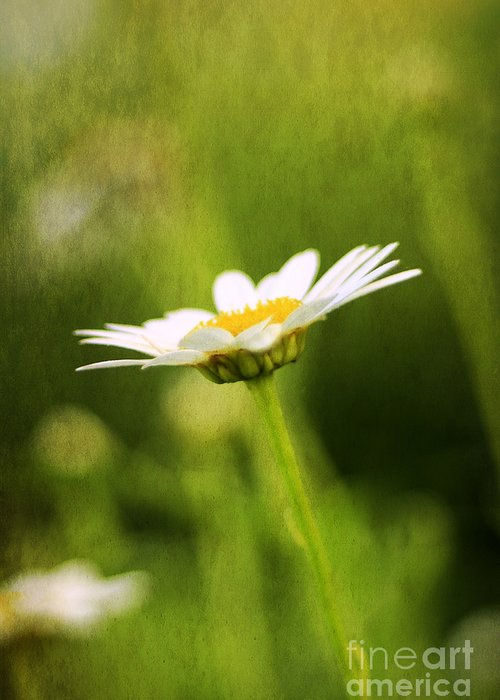 Angel Greeting Card featuring the photograph Daisy by Darren Fisher