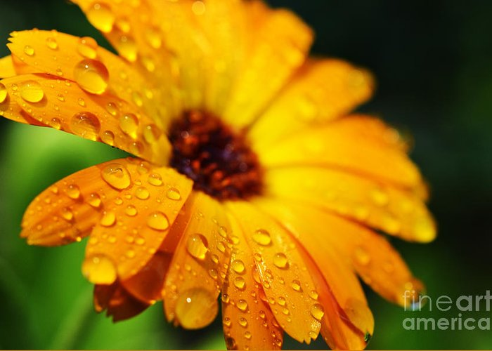 Orange Greeting Card featuring the photograph Daisy In The Rain by Thomas R Fletcher