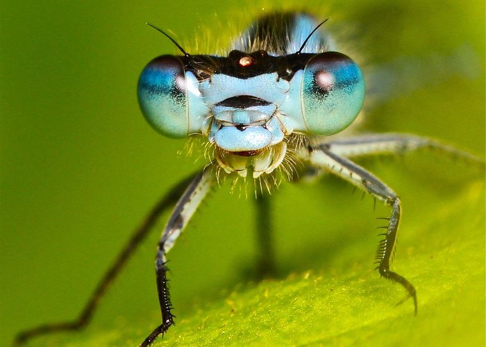 Damselfly Greeting Card featuring the photograph Damselfly Portrait by Ronald Monong