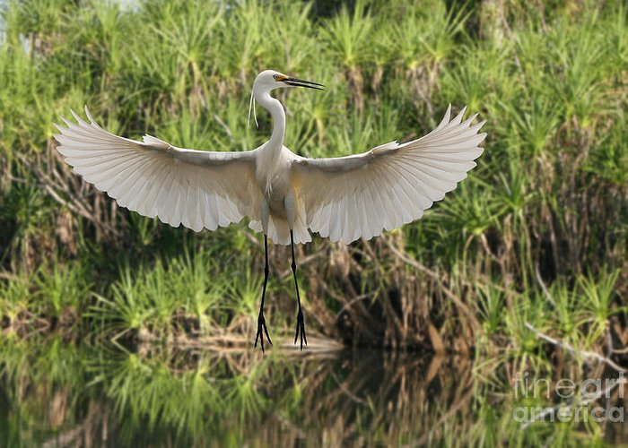 Bird Intermediate Egret White Flight Greeting Card featuring the photograph Dancing Egret by Brian Gunter