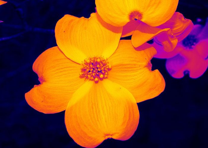 Flower Greeting Card featuring the photograph Daring Dogwood I by Tessa Murphy