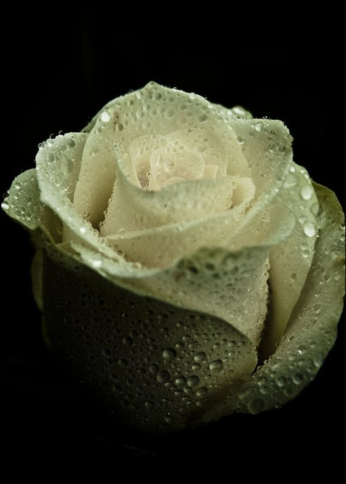 Rose Greeting Card featuring the photograph Dark Rose by Grebo Gray