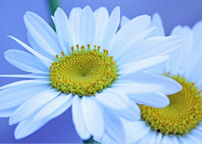 Becky Greeting Card featuring the photograph Darling Daisies by Becky Lodes