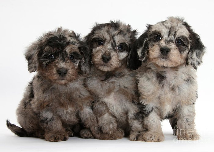 Nature Greeting Card featuring the photograph Daxiedoodle Poodle X Dachshund Puppies by Mark Taylor