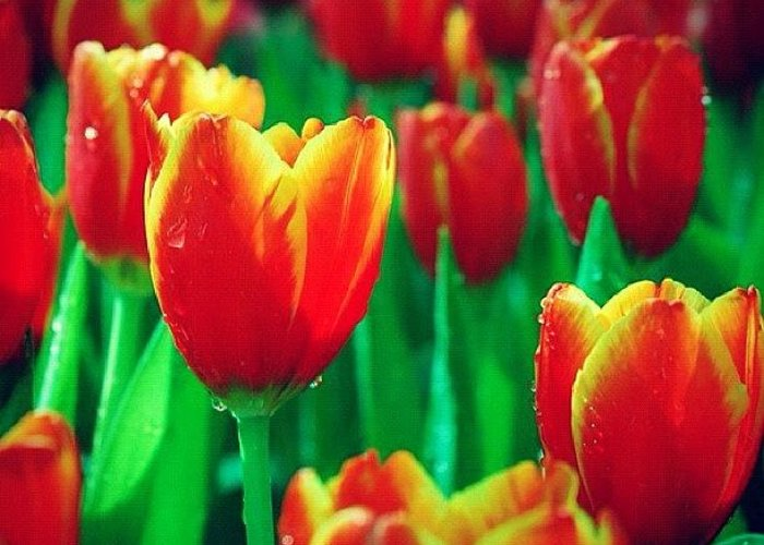 Summer Greeting Card featuring the photograph Dear Tulips #flower by Rocky Boat