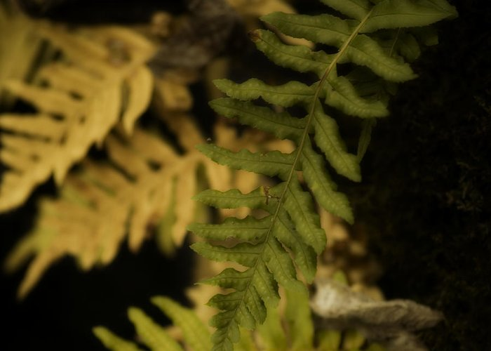 Fern Greeting Card featuring the photograph Deep Woods Fern by Bonnie Bruno