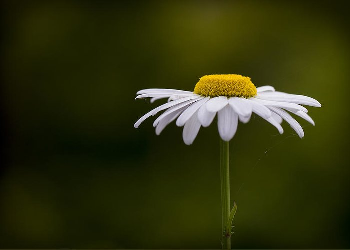 Leucanthemum Greeting Card featuring the photograph Defiant Daisy by Clare Bambers
