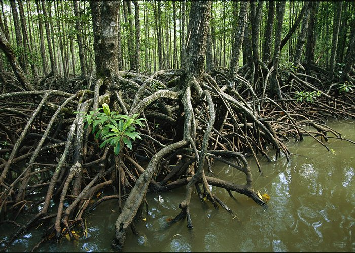 Pacific Islands Greeting Card featuring the photograph Detail Of Mangrove Roots At The Waters by Tim Laman