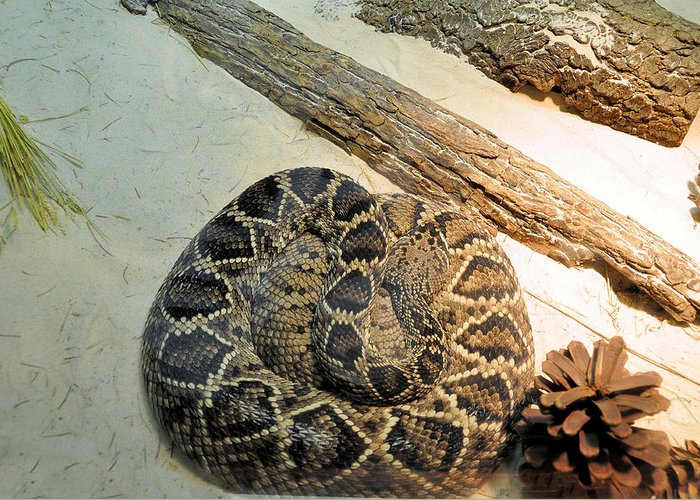 Reptiles Greeting Card featuring the photograph Diamond Back Rattler by Jan Amiss Photography