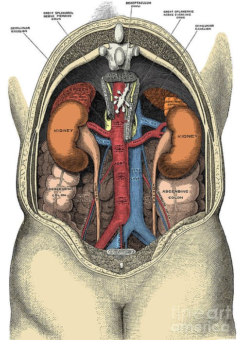 Human Greeting Card featuring the photograph Dissection Of The Abdomen by Science Source