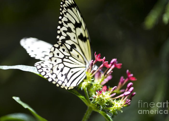 Butterfly Greeting Card featuring the photograph Diva by Leslie Leda