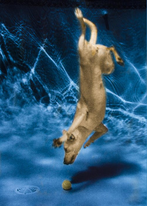 Dog Greeting Card featuring the photograph Diving Dog 2 by Jill Reger