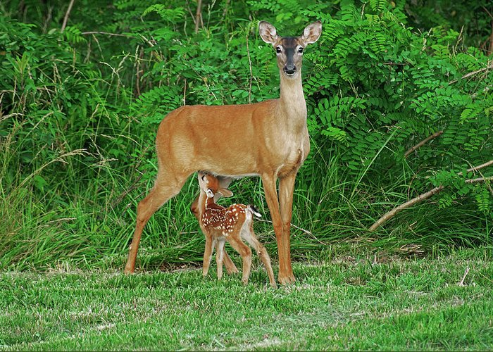 Doe Greeting Card featuring the photograph Doe And Nursing Fawn by Fred Kirchhoff