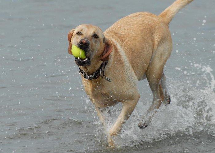 Labrador Retriever Greeting Card featuring the photograph Dog 111 by Joyce StJames