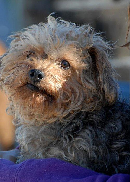 Yorkiepoo Greeting Card featuring the photograph Dog 49 by Joyce StJames