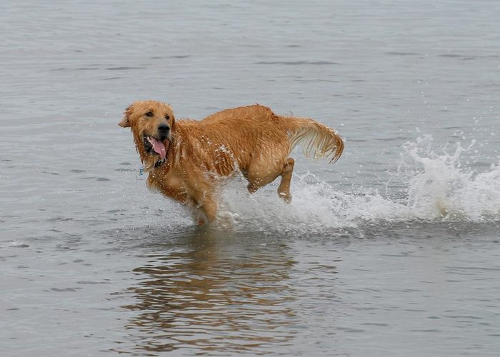 Golden Retriever Greeting Card featuring the photograph Dog 81 by Joyce StJames