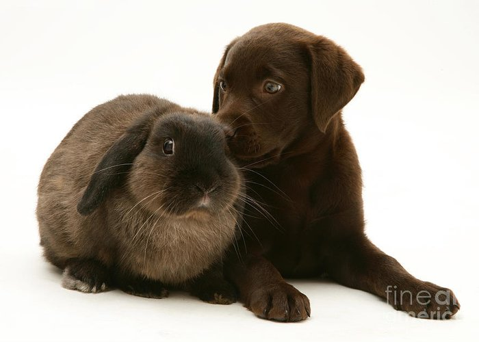 Chocolate Lab Greeting Card featuring the photograph Dog Pup With Rabbit by Jane Burton