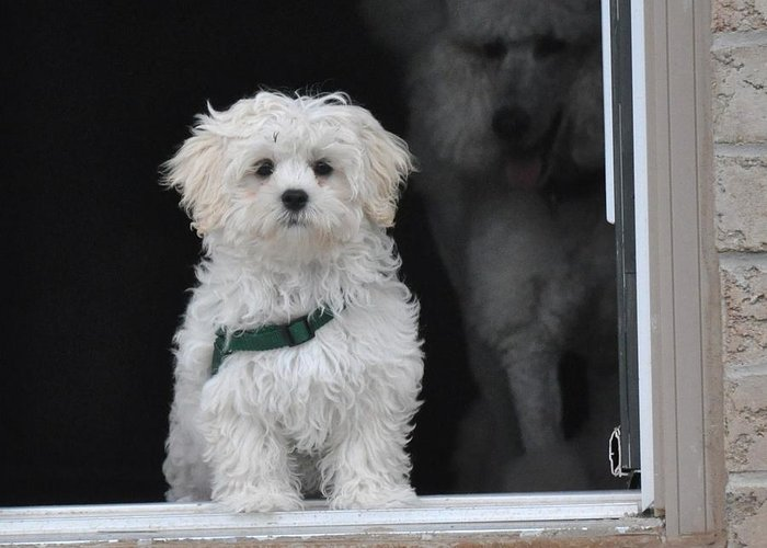 Dog Framed Prints Greeting Card featuring the photograph Doggie In The Window by Lisa DiFruscio