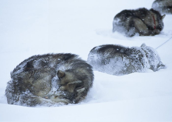 Color Image Greeting Card featuring the photograph Dogs Sleep In Blizzard On Frozen Ocean by Gordon Wiltsie