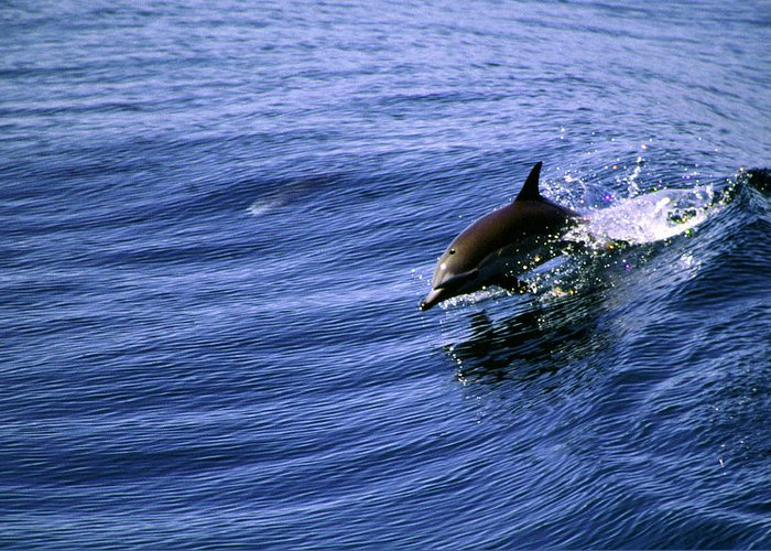 Dolphin Greeting Card featuring the photograph Surfrider by Cliff Wassmann