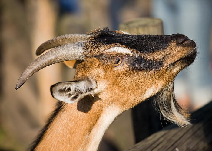 Agriculture Greeting Card featuring the photograph Domestic Goat by Artur Bogacki