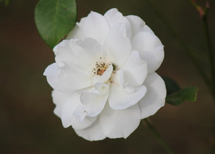 White Greeting Card featuring the photograph Donna Flower by Mike Wilber