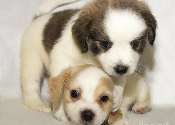 Puppies Greeting Card featuring the photograph Double Trouble by Jeannette Hunt