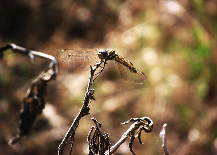Dragon Fly On Flower Or Stick Wildlife Nature Beauty Insect Bug Greeting Card featuring the photograph Dragon Fly by Joey Gonzalez