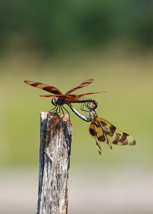 Kelly Rader Greeting Card featuring the photograph Dragon Fly Love by Kelly Rader