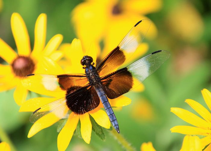 Insect Greeting Card featuring the photograph Dragon Fly by Rick Rauzi