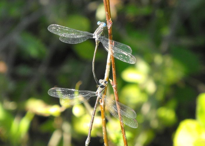 Dragonflies Greeting Card featuring the photograph Dragonflies by Paulina Roybal