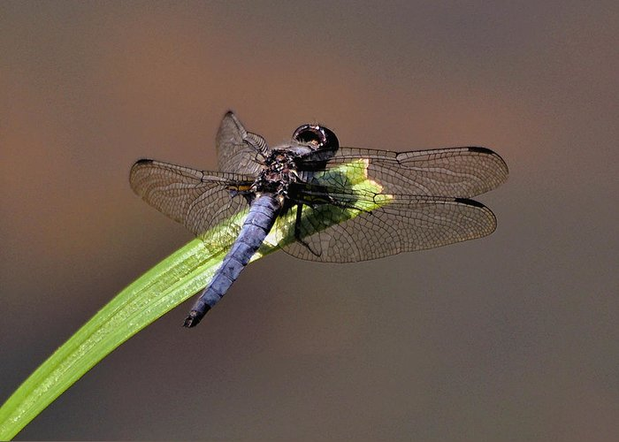Paul Lyndon Phillips Greeting Card featuring the photograph Dragonfly On Goose Feather Pond - C2121b by Paul Lyndon Phillips
