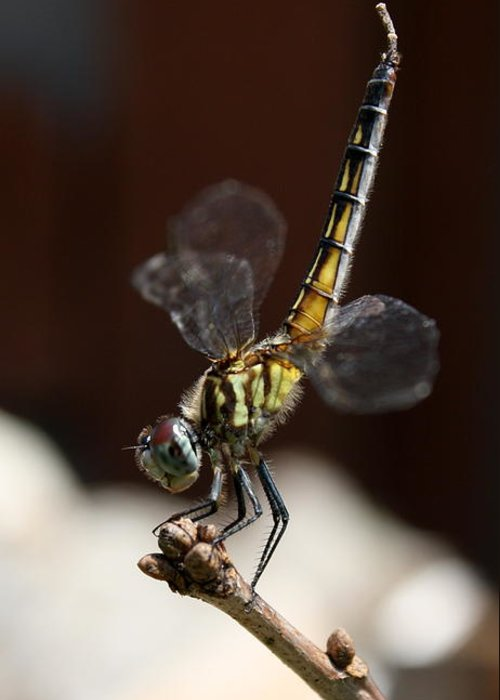 Blue Greeting Card featuring the photograph Dragonfly Yoga by Annie Babineau