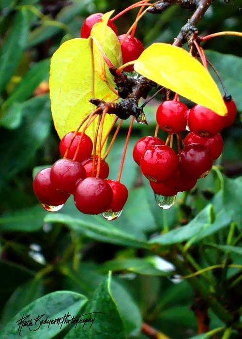 Nature Greeting Card featuring the photograph Drips And Berries by Ruth Bodycott