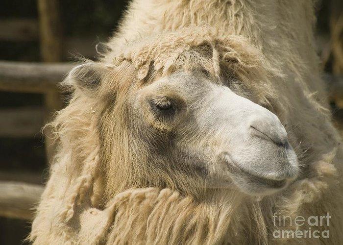 Animal Greeting Card featuring the photograph Dromedar by Odon Czintos
