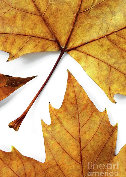 Autumn Greeting Card featuring the photograph Dry Leafs by Carlos Caetano