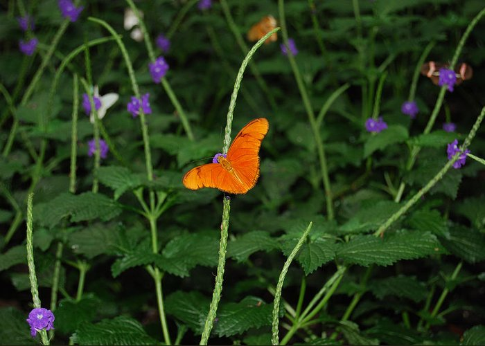 Animal Greeting Card featuring the photograph Dryas Iulia Butterfly by Kim French