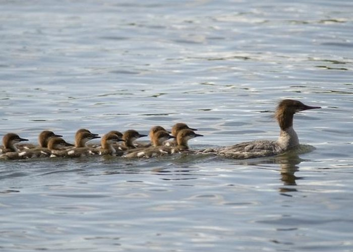 Animal Greeting Card featuring the photograph Duck And Ducklings Swimming In A Row by Keith Levit