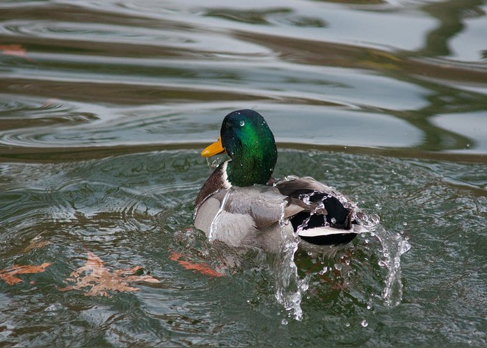 Bath Greeting Card featuring the photograph Duck Bathing Series 6 by Craig Hosterman