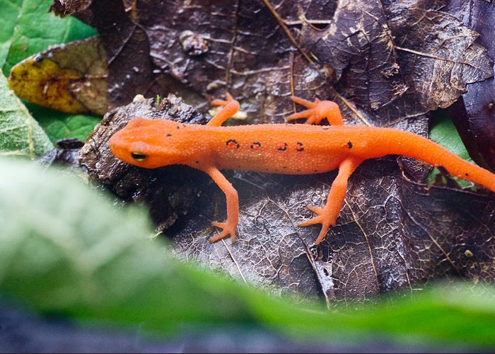 Eastern Greeting Card featuring the photograph Easterm Newt Nnotophthalmus Viridescens 10 by Douglas Barnett