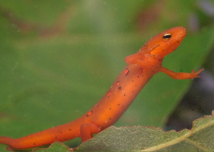 Eastern Greeting Card featuring the photograph Easterm Newt Nnotophthalmus Viridescens 21 by Douglas Barnett