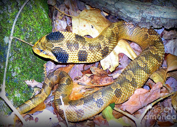Snake Greeting Card featuring the photograph Eastern Hognose Snake by Kathy White