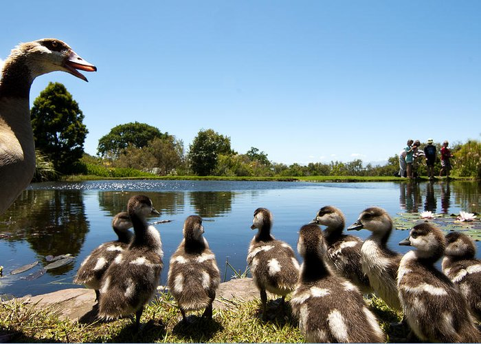 Kirstenbosch Greeting Card featuring the photograph Egyptian Geese by Fabrizio Troiani