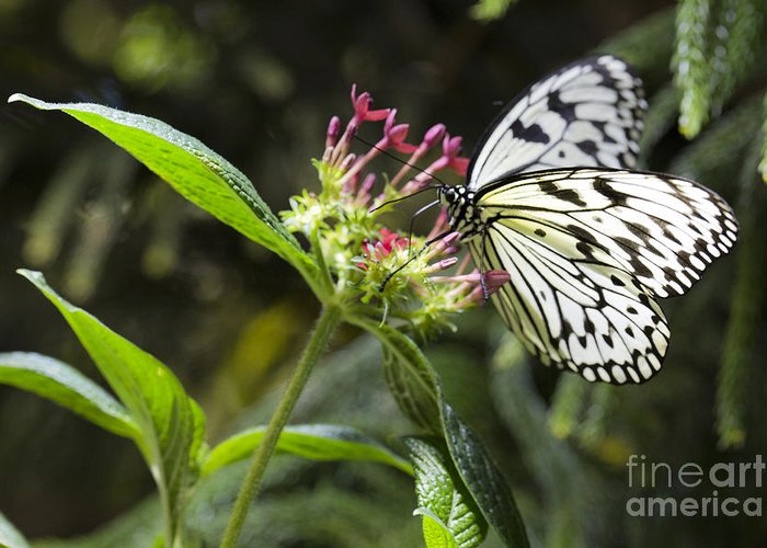 Butterfly Greeting Card featuring the photograph Elegance by Leslie Leda