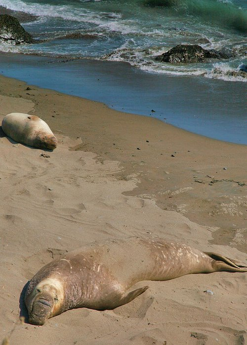 Animals Greeting Card featuring the photograph Elephant Seals Molting by Steven Ainsworth