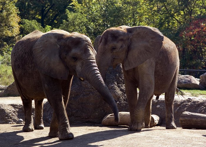 Pittsburgh Greeting Card featuring the photograph Elephants At The Pittsburgh Zoo by Stacy Gold
