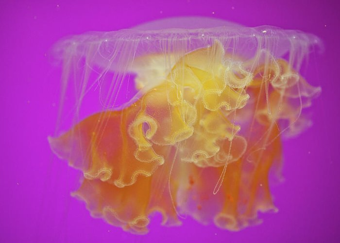 Jellyfish Greeting Card featuring the photograph Enchanted Jellyfish 2 by Pam Fong