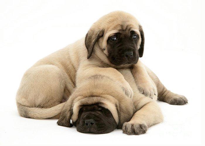 Animal Greeting Card featuring the photograph English Mastiff Puppies by Jane Burton
